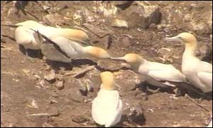 Gannets on Grassholm