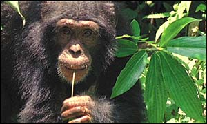 Chimp (BBC)
