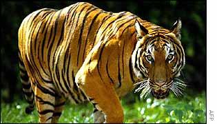 Malaysian tiger