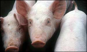 Pigs are the closest creatures genetically to humans