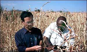 The UN's Kenzo Oshima (l) and Abraha Garza (r) examine dead sorhgum in Mogolo