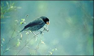 Medium Ground Finch, John Croxall