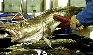 Cod at a market in Suffolk
