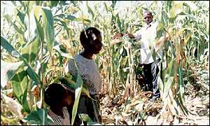 Malawian villagers in a maize field
