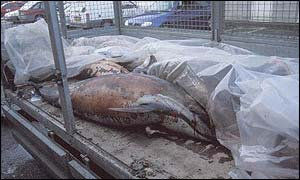 Dolphin carcasses