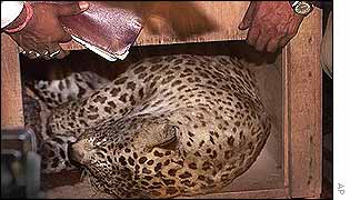 The leopard lies in a wooden cage after being tranquilized