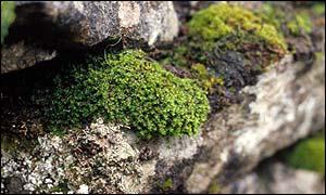 Limestone moss, English Nature/NHM