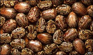 castor oil seeds