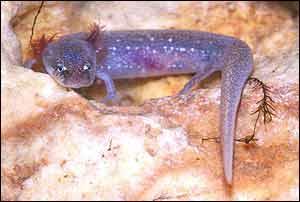Austin blind salamander   Dee-Ann Chamberlain
