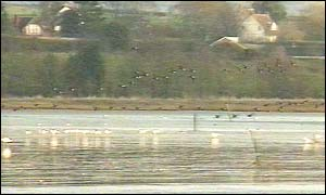 Migrant birds on the Exe estuary