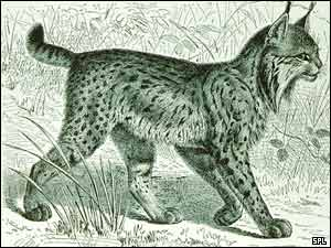 Lynx pardinus, SPL