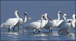 Spoonbill group in water   John Holmes/BirdLife (one-off use)