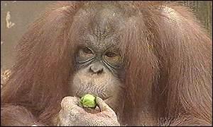 Benjy the orang-utan