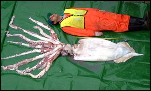 Giant squid caught off Scotland ion January 2002