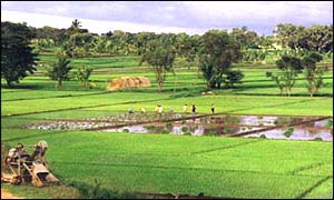 Karnataka rice fields