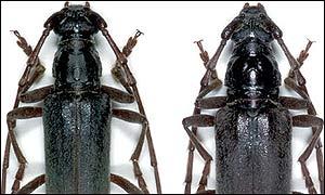 Derolus discicollis Gahen. Male left.