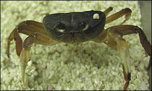 Crusty the Jamaican Great Land Crab