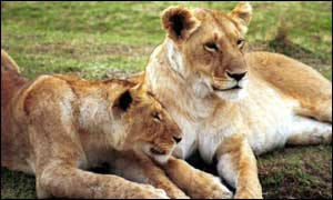 Lioness's