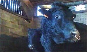 Wagyu bull