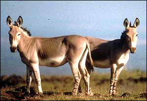 African wild asses   Patricia D Moehlman 1998 (One-time use)