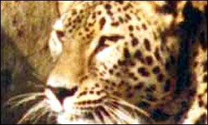 Caucasus leopard (Photo WWF)