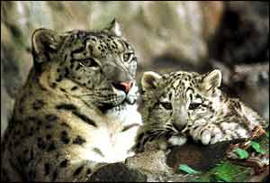 Snow leopard and cub   PA