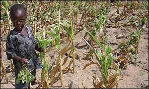 Child in field on wilted maize