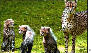 A mother cheetah with her cheetah cubs