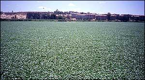 Water hyacinth, Geoffrey Howard/IUCN