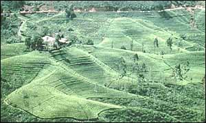 Tea plantation near Kandy, Sri Lanka