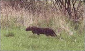 Unidentified big cat