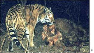 Tiger caught on film in Jilin province