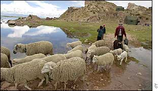 A shepherd steers her sheep around a flooded field in south-eastern Peru
