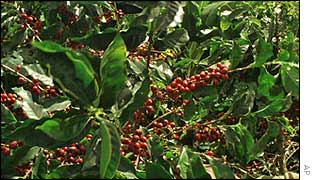 Ripe coffee beans on a coffee plantation