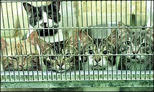 British cats in a cage