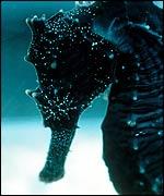 Seahorse   Project Seahorse