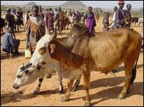 Cow at Kabong market