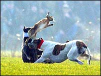 Two hounds chase a hare at the Waterloo Cup