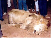 killer lion