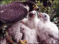 Peregrine Falcon and young