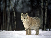 Lynx in woods   WWFNorway/Tom Schandy
