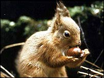 Red squirrel eating nut   Wildlife Trusts