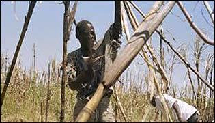 Kenyan sugar cane