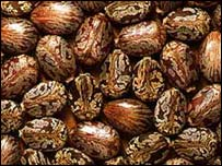 Castor beans
