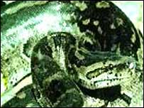 Africa python