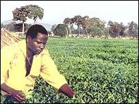 Ugandan tea picker