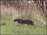Big Black Cat Sightings Scotland