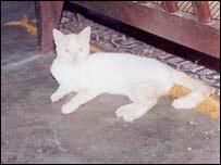 Batibo cat