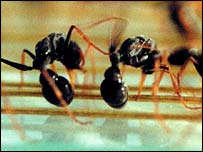 Jack jumper ants - (copyright - Simon Brown)