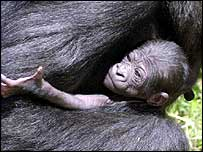 Infant gorilla   PA